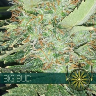 Big Bud (Vision Seeds) feminizada
