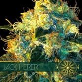 Jack Herer (Vision Seeds)  feminizada