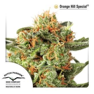 Orange Hill Special (Dutch Passion) feminizada