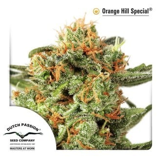 Orange Hill Special (Dutch Passion) feminizada