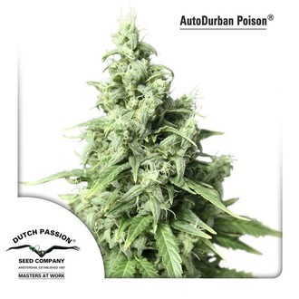 Auto Durban Poison (Dutch Passion) feminizada