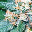 Super Skunk (Vision Seeds) feminizada