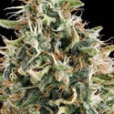 White Widow (Vision Seeds) feminizada