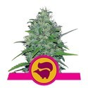Skunk XL (Royal Queen Seeds) feminizada
