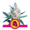 Royal Cheese - Fast Flowering (Royal Queen Seeds) feminizada