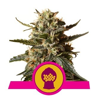 Bubblegum XL (Royal Queen Seeds) feminizada