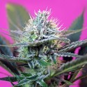 + Speed Auto (Sweet Seeds) feminizada
