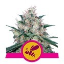 Honey Cream - Fast Flowering (Royal Queen Seeds) feminizada