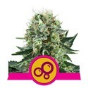 Bubble Kush (Royal Queen Seeds) feminizada