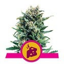 Blue Cheese (Royal Queen Seeds) feminizada