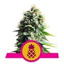 Pineapple Kush (Royal Queen Seeds) feminizada
