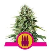 Royal AK (Royal Queen Seeds) feminizada