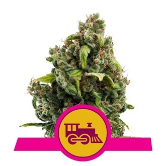 Candy Kush Express - Fast Flowering (Royal Queen Seeds) feminizada