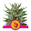 Speedy Chile - Fast Flowering (Royal Queen Seeds) feminizada