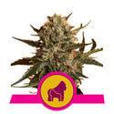 Mother Gorilla (Royal Queen Seeds) feminizada