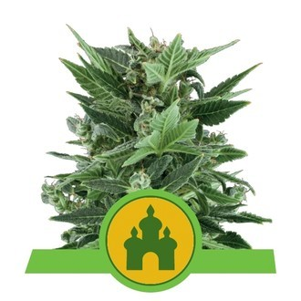 Royal Kush Automatic (Royal Queen Seeds) feminizada