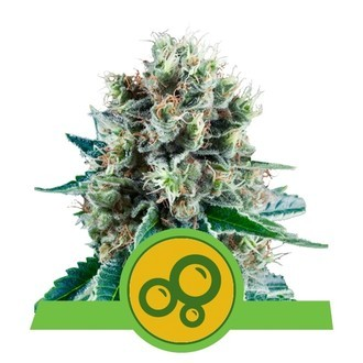 Bubble Kush Automatic (Royal Queen Seeds) feminizada