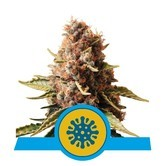 Euphoria (Royal Queen Seeds) feminizada