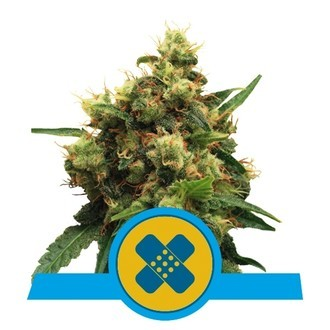 Painkiller XL (Royal Queen Seeds) feminizada