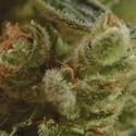 One To One (CBD Seeds) feminizada