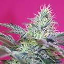 Sweet Cheese Auto (Sweet Seeds) feminizada