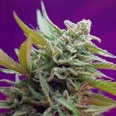Black Jack Auto (Sweet Seeds) feminizada