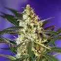 Fast Bud 2 Auto (Sweet Seeds) feminizada