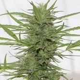 Dedoverde Haze Autoflowering (Humboldt Seeds) feminizada