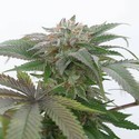 Bubba Kush 2.0 (Humboldt Seeds) feminizada