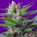 Speed Devil 2 (Sweet Seeds) feminizada