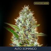 Auto Somango (Advanced Seeds) feminizada