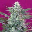 Big Foot (Sweet Seeds) feminizada