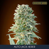 Auto Jack Herer (Advanced Seeds) feminizada