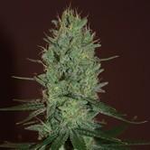 Amnesia Haze (Expert Seeds) feminizada