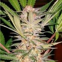 S.A.D. S1 (Sweet Seeds) feminizada
