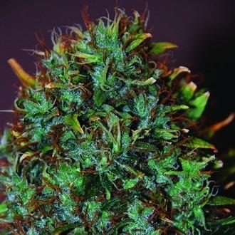 Expert Haze (Expert Seeds) feminizada