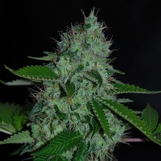 White Widow (Expert Seeds) feminizada