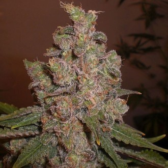 Cheese (Expert Seeds) feminizasa