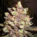 LSD Poison (Expert Seeds) feminizada
