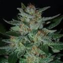 Blue Cheese (Expert Seeds) feminizada