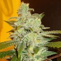 Northern Lights (Expert Seeds) feminizada