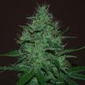 Amnesia Haze Auto (Expert Seeds) feminizada