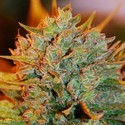 Northern Light x Big Bud Auto (Expert Seeds) feminizada