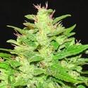 Auto Kush (Expert Seeds) feminizada