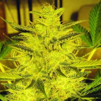 Caramella Auto (Expert Seeds) feminizada