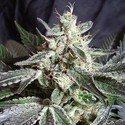 Black Jack (Sweet Seeds) feminizada