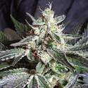 Black Jack (Sweet Seeds) feminizada