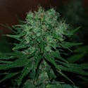 Blue Cheese Auto (Expert Seeds) feminizada