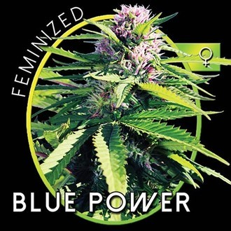 Blue Power (Vision Seeds) feminizada