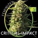 Critical Impact (Vision Seeds) feminizada